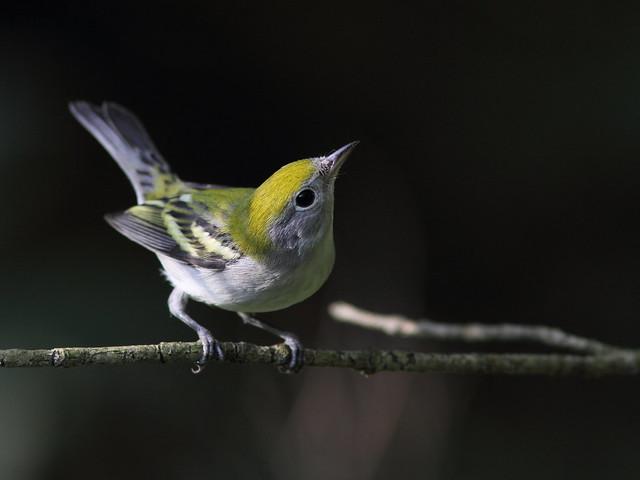 Chestnut-sided Warbler (Dendroica pensylvanica) SOOC cropped 20120824