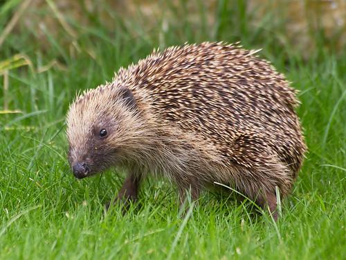 Hedgehog surprise