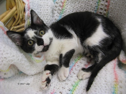 Finnigan, Playful & Cute Tuxedo Kitten