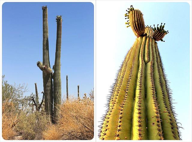 saguaro cactus sonoran desert