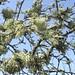 Le jeu des lichens dans les arbres, plage des Quinconces, Andernos-les-Bains, Gironde, Aquitaine, France. ©byb64 (en voyage)