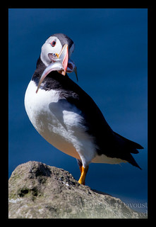 Puffin_with_sandeels