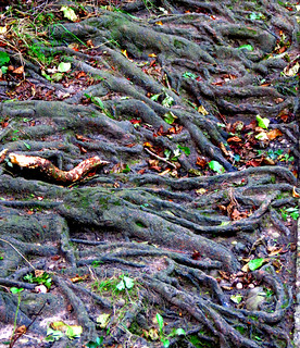 Tree Roots on Bank Enh