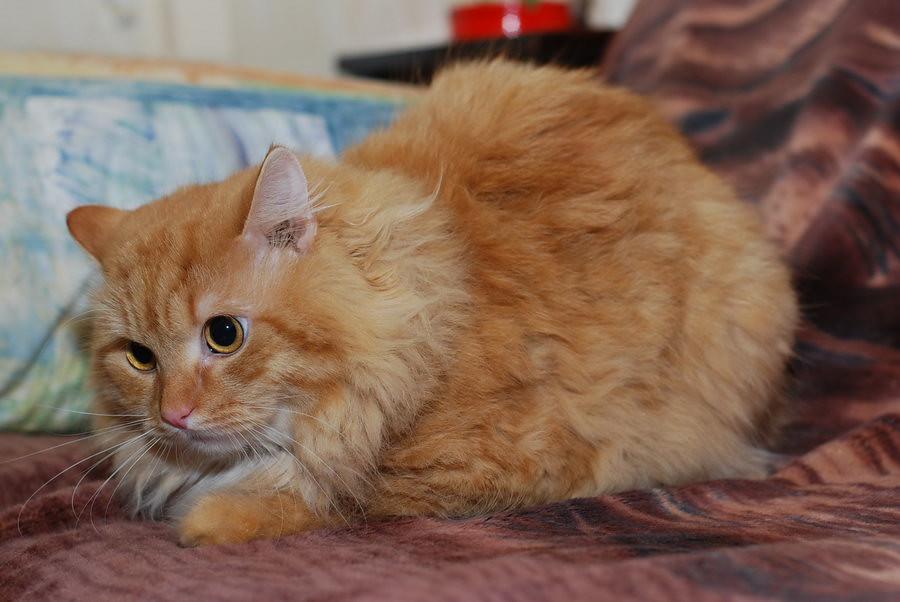 Тимофей, рыжий кот