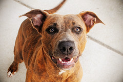 Tabby, American Staffordshire Terrier mix