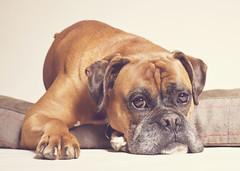 [フリー画像素材] 動物 1, 犬・イヌ, ボクサー (犬) ID:201209111000