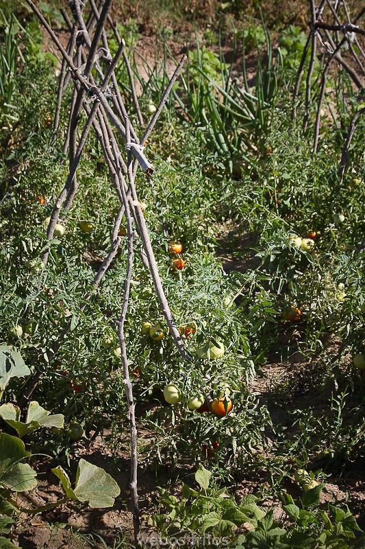 Las matas de tomate