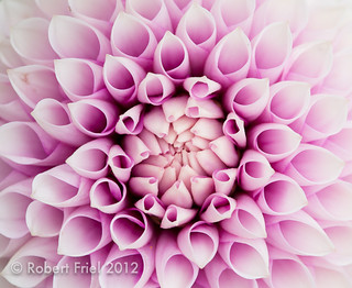 Dahlias  (2 of 2)