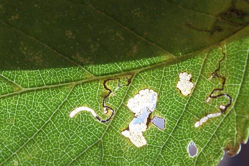 Bucculatrix albedinella (2)