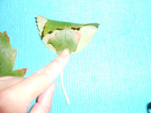 Fold leaf in half
