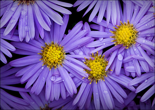 Fall aster with raindrops