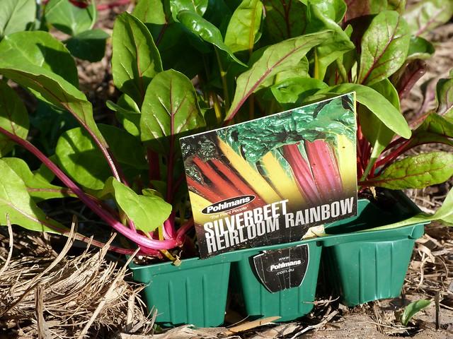 rainbow silverbeet