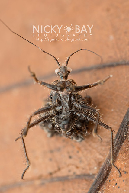 Assassin Bug Molt (Reduviidae) - DSC_5179