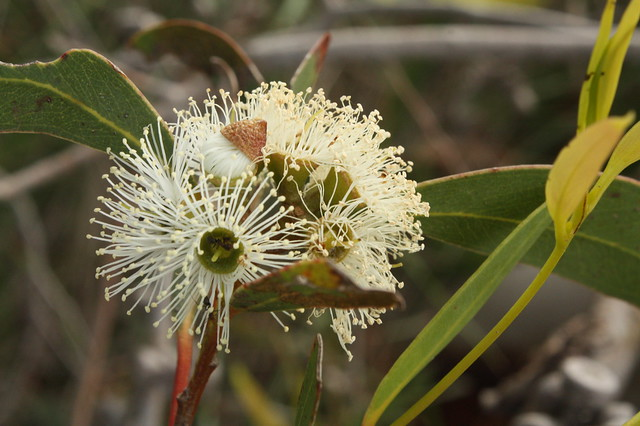 White Gum flowers
