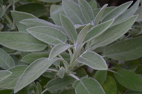 Salvia officinalis per Irene Grassi a Flickr