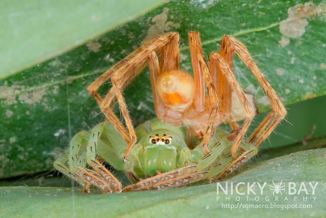 Huntsman Spiders (Sparassidae) - DSC_3651