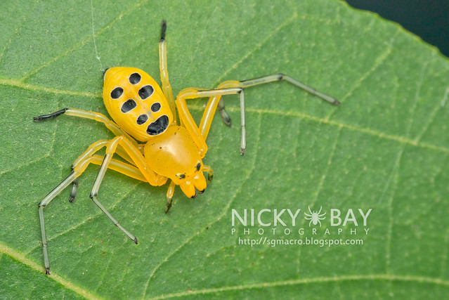 Eight Spotted Crab Spider (Platythomisus octomaculatus) - DSC_3012
