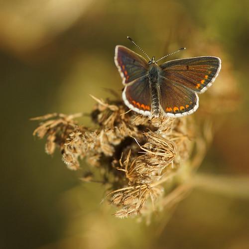 Weibchen des Himmelblauen Bläulings (polyommatus bellargus) auf einer fruchttragenden Wilden Möhre (Daucus carota) by olga_rashida