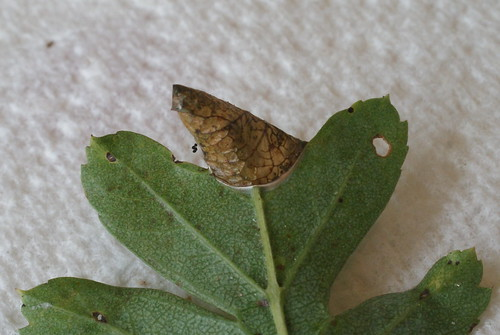 Parornix anglicella - leaf fold on Hawthorn