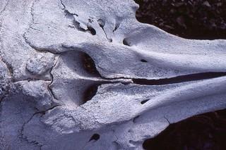 Tursiops truncata or a Delphinus sp?