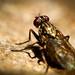 Magnifica mosca...estava tranquila posando para fotografia by Laércio Cortes