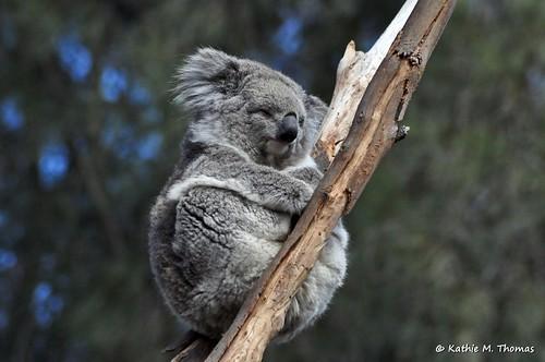 Koala in gum tree
