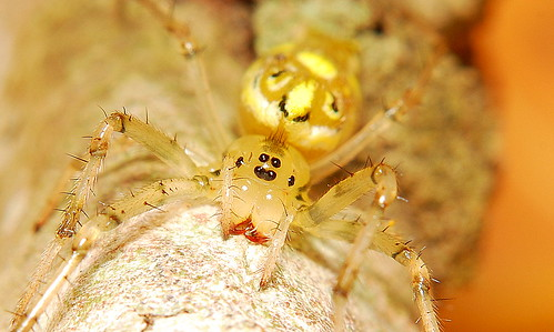 Face to face with spiders (Alpaida delicata, Araneidae).