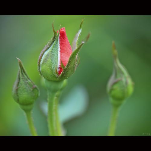 Có nụ hồng ngày xưa rớt lại... by -clicking-
