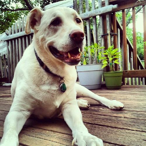 Zeus #dogs #deck #summer #smile #happydog #dogstagram #dogsofinstagram #petstagram #instadog
