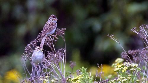nature minnesota birds sparrows duluth claycoloredsparrow stlouisco tonymitchell
