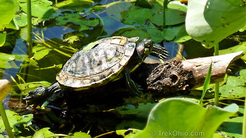 Red Eared Slider shedding