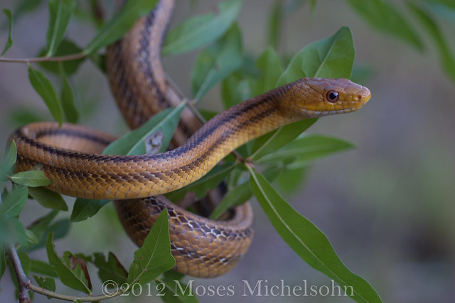 Pantherophis obsoletus - Manatee County, Florida, United States of America