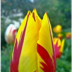 Tulipan, tulip, Tulpen, tulips,Tulpe, tulipan
