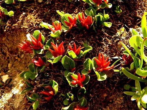 Salix herbacea=Saule herbacé(en fruits)