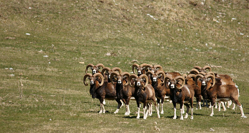 France, Chaudun : le printemps des mouflons / Bighorn sheeps' spring
