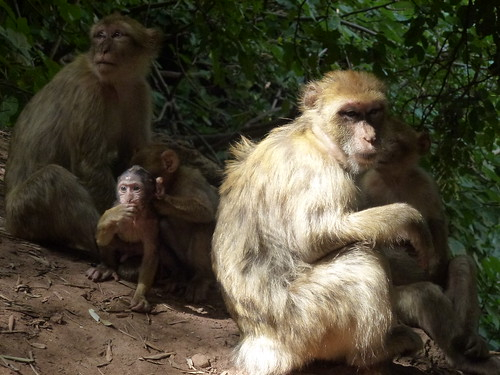 Troupe of Barbary apes