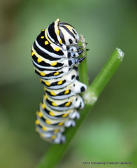 Mid Instar Caterpillar, Papilio polyxenes, Eastern Black Swallowtail