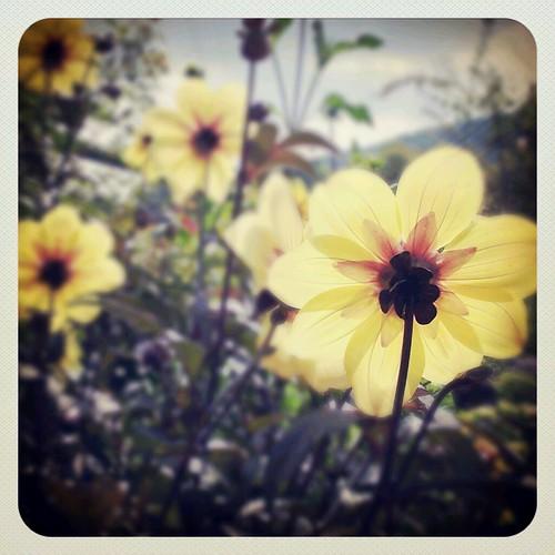 Shine Flowers