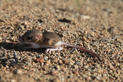 Baby kangaroo rat by ConserVentures