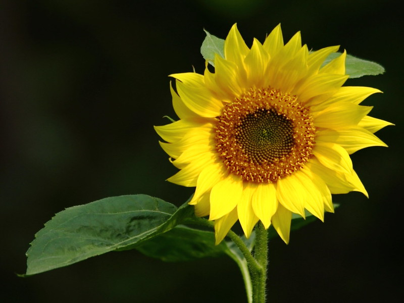 Sunflower Volunteer