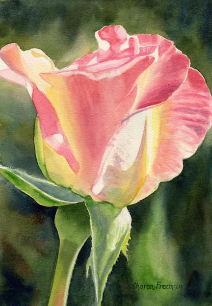 Princess Diana Rose Bud 600 Flickr Photo Sharing