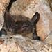 Serotine Bat