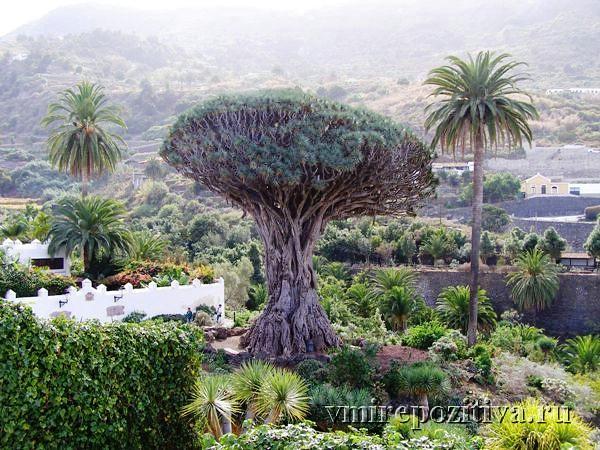 тысячелетнее драконово дерево