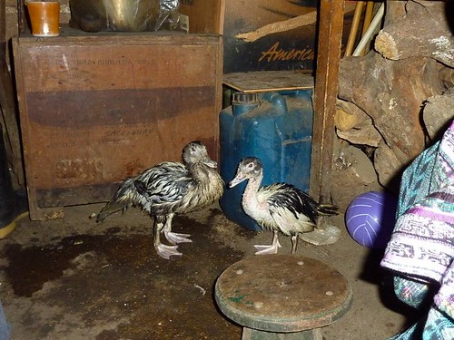 My ducks at Maria Osorio's