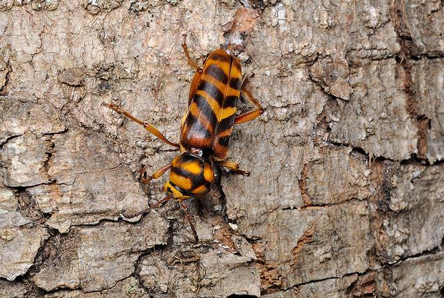 Xylotrechus villioni