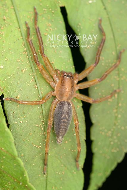 Huntsman Spider (Sparassidae) - DSC_2708