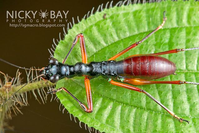 Tiger Beetle-Mimic Katydid (Condylodera tricondyloides) - DSC_1743