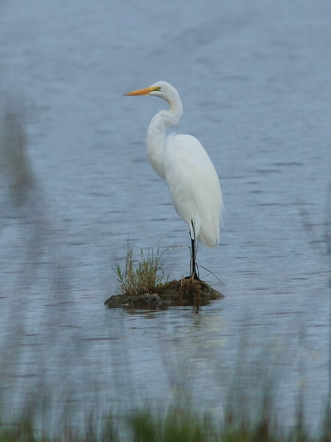 Great Egret 20120919
