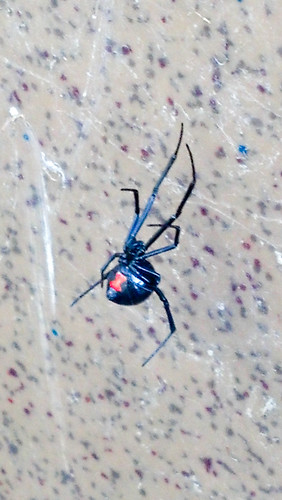 306: Black widow