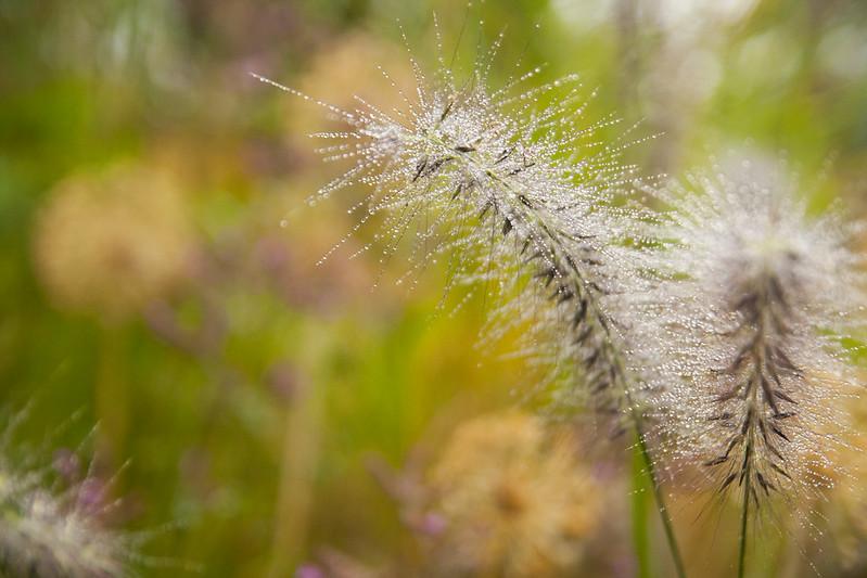 Rainy Pennisetum macro h